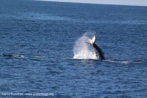 Balena, Doubtful Sound, Nuova Zelanda. Autore e Copyright Marco Ramerini