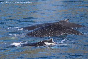 Balene, Doubtful Sound, Nuova Zelanda. Autore e Copyright Marco Ramerini