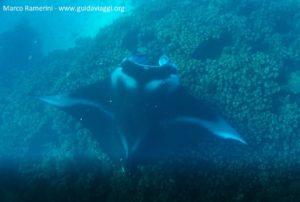 Manta tra le isole di Drawaqa e Naviti, Isole Yasawa, Figi. Autore e Copyright Marco Ramerini
