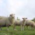 Pecore, Catlins, Nuova Zelanda. Autore e Copyright Marco Ramerini