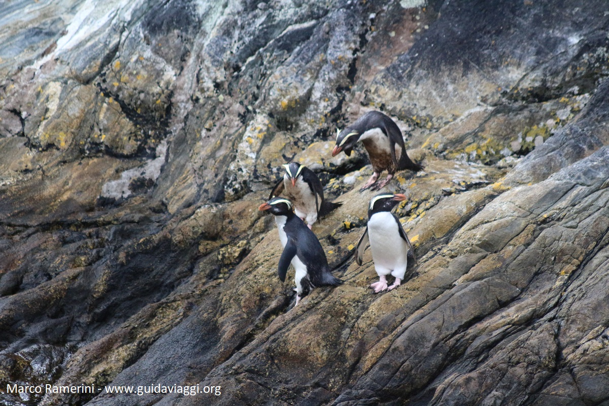 Pinguini, Nuova Zelanda. Autore e Copyright Marco Ramerini.