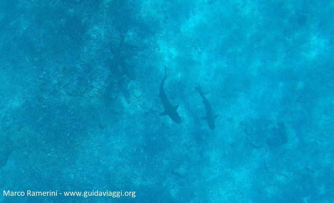 Snorkeling con gli squali, Kuata Island, Isole Yasawa, Figi. Autore e Copyright Marco Ramerini
